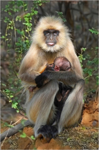Black-faced langur mother and baby