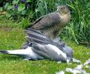 Sparrowhawk by J. Hanrahan - intermediate nature category - May 2014