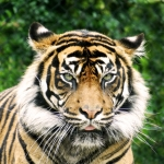 Sumatran tiger  by T Cosens - advanced general category - September 2016