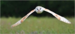 Barn Owl in Flight by D Weightman - advanced nature category - September 2016