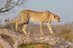Cheetah on the Prowl, South Africa