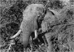 Elephant emerging from Acacia scrub in South Africa